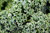 Curly Kale up close