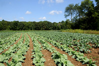 The latest brassicas planting in Gadbois 2