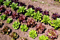 Lettuce-healthy and colorful!