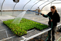 Watering the lettuce in the greenhouse